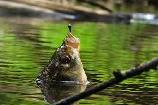 як вовк рибу ловив