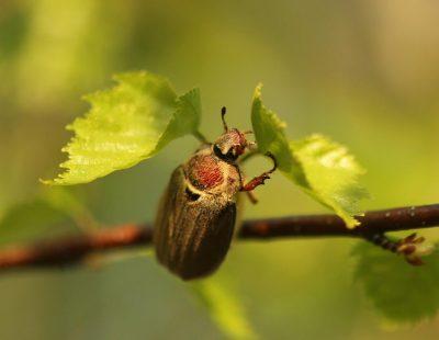 Майский жук на ветке