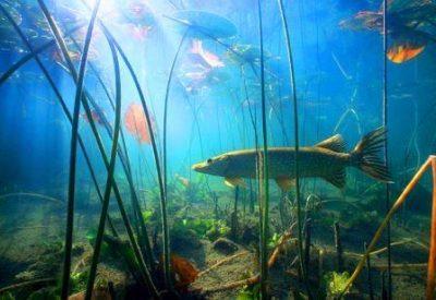 Щука в водорослях
