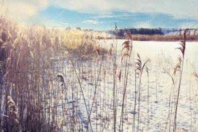 Камыш зимой