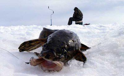 Как ловить налима зимой, и какие снасти использовать
