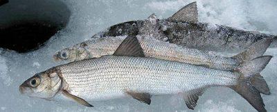 Рыба возле лунки