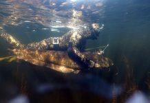 Подводный охотник и сом