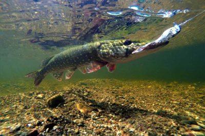Рыба в погоне за добычей