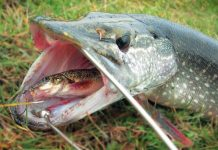 Рыба в пасти щуки