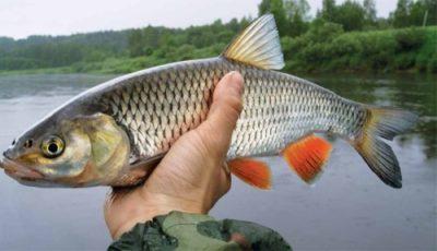 Рыба голавль как готовить