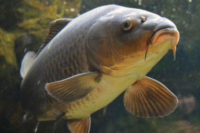 Карп рыба: описание с фото, методы ловли, как приготовить