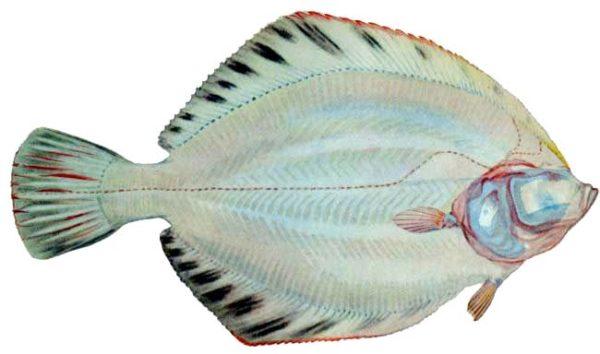 Белобрюхая рыба