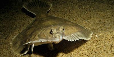 Рыба камбала фото