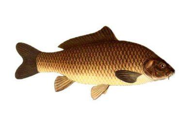 Фото рыбы сазан