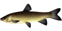 Рыба белый амур